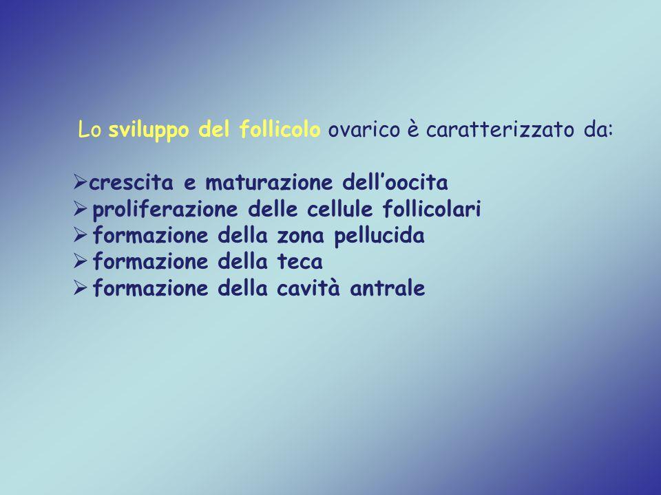Lo sviluppo del follicolo ovarico è caratterizzato da: