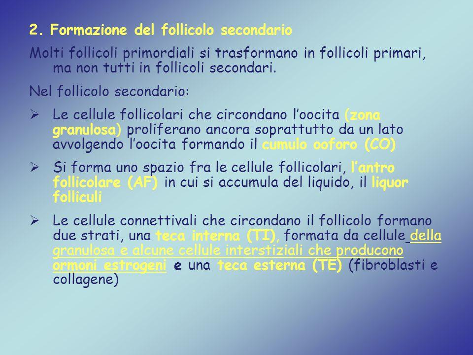 2. Formazione del follicolo secondario