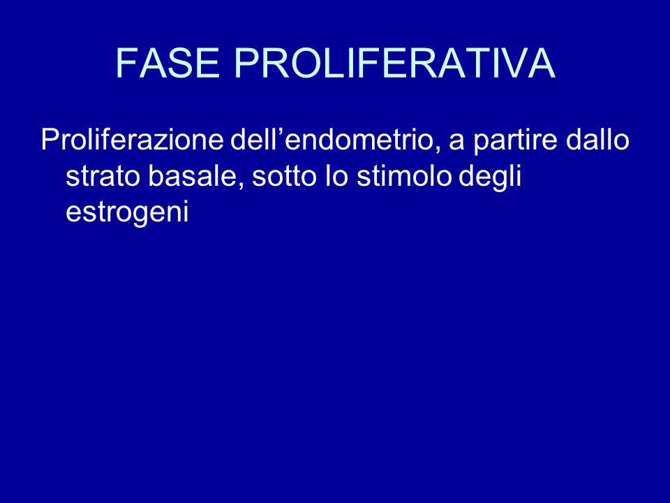 FASE PROLIFERATIVA Proliferazione dell'endometrio, a partire dallo strato basale, sotto lo stimolo degli estrogeni.