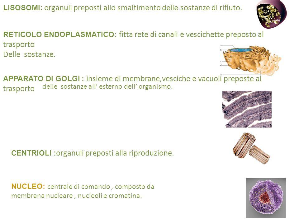 . Lisosomi: organuli preposti allo smaltimento delle sostanze di rifiuto.