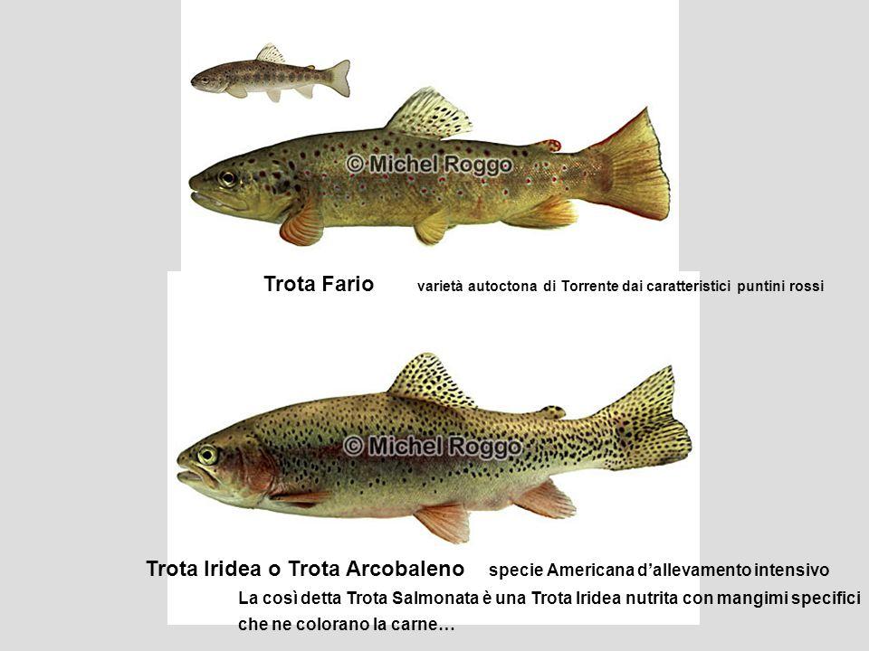 Trota Fario varietà autoctona di Torrente dai caratteristici puntini rossi