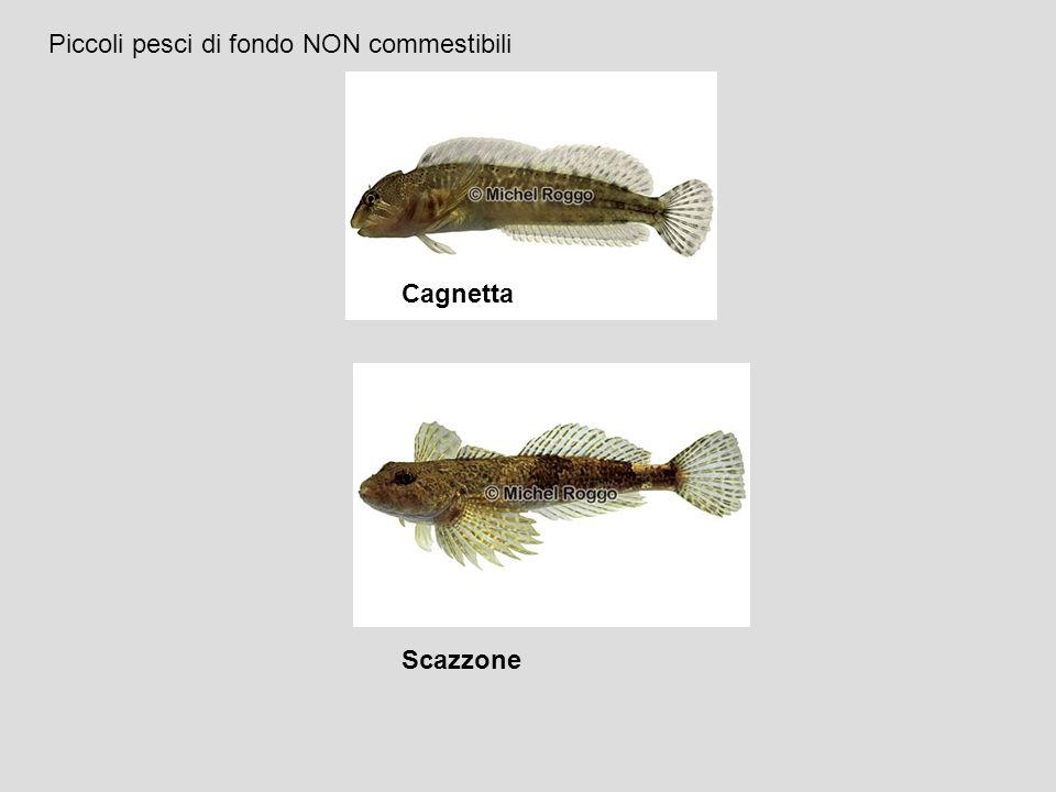 Piccoli pesci di fondo NON commestibili