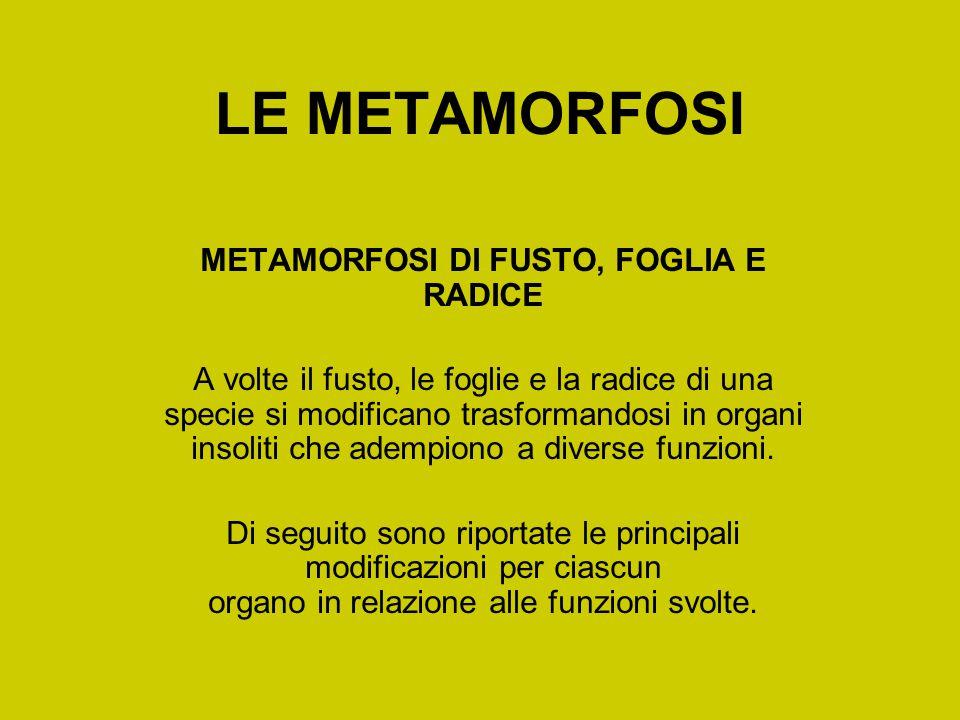 METAMORFOSI DI FUSTO, FOGLIA E RADICE