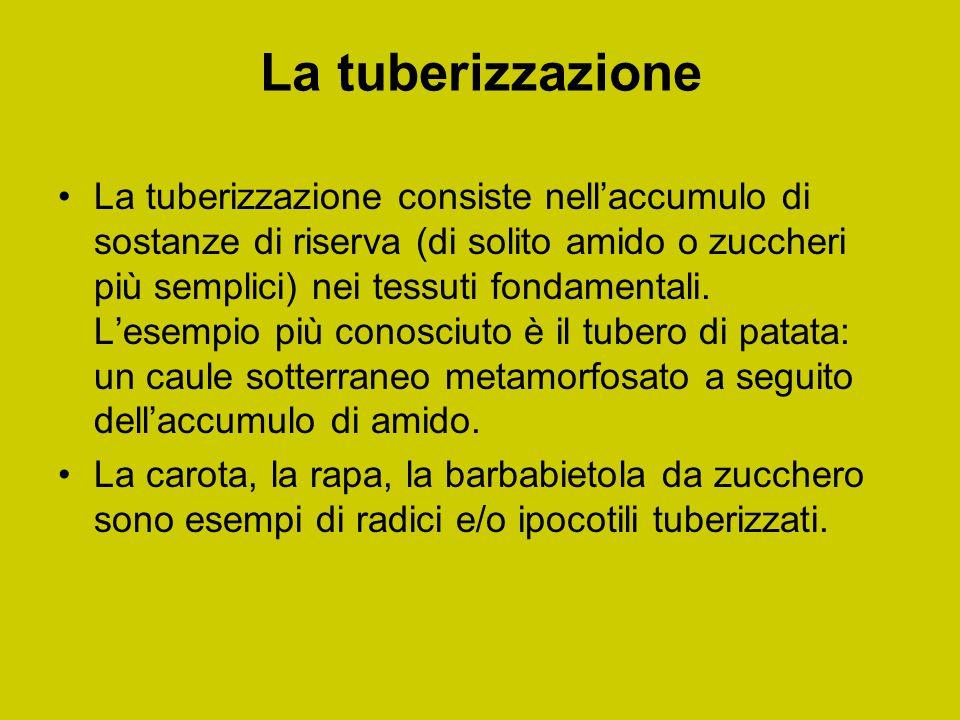 La tuberizzazione