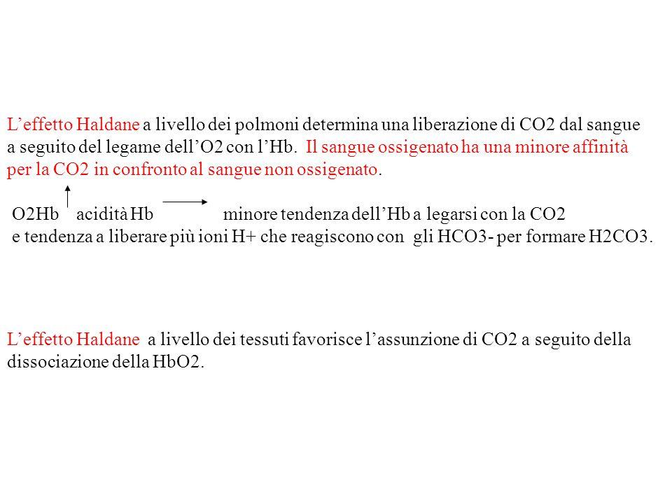 L'effetto Haldane a livello dei polmoni determina una liberazione di CO2 dal sangue