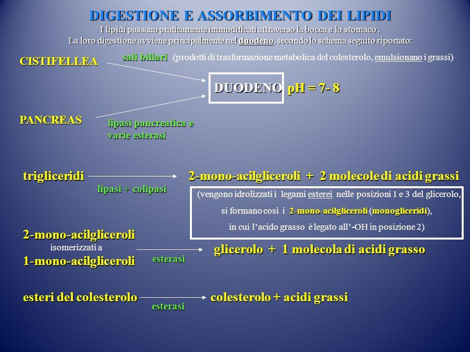 DIGESTIONE E ASSORBIMENTO DEI LIPIDI I lipidi passano praticamente immodificati attraverso la bocca e lo stomaco . La loro digestione avviene principalmente nel duodeno, secondo lo schema seguito riportato: