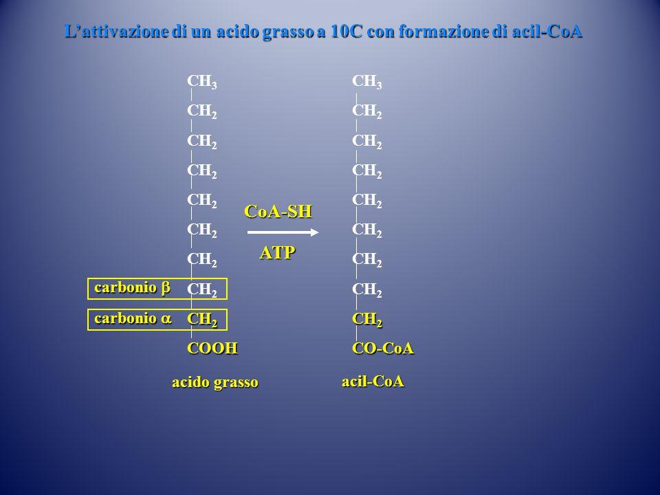 L'attivazione di un acido grasso a 10C con formazione di acil-CoA