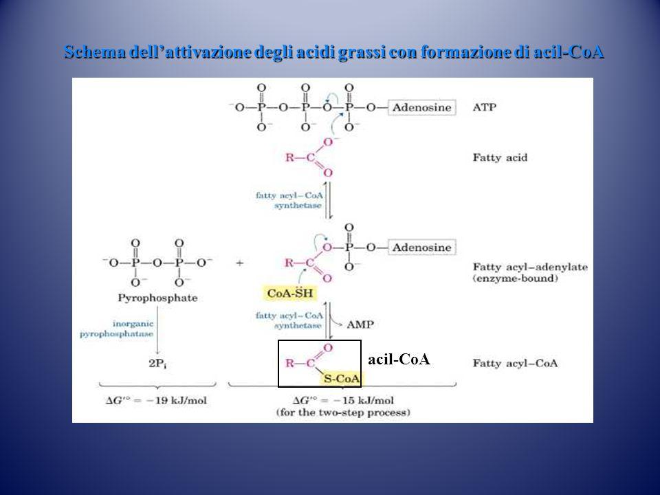 Schema dell'attivazione degli acidi grassi con formazione di acil-CoA