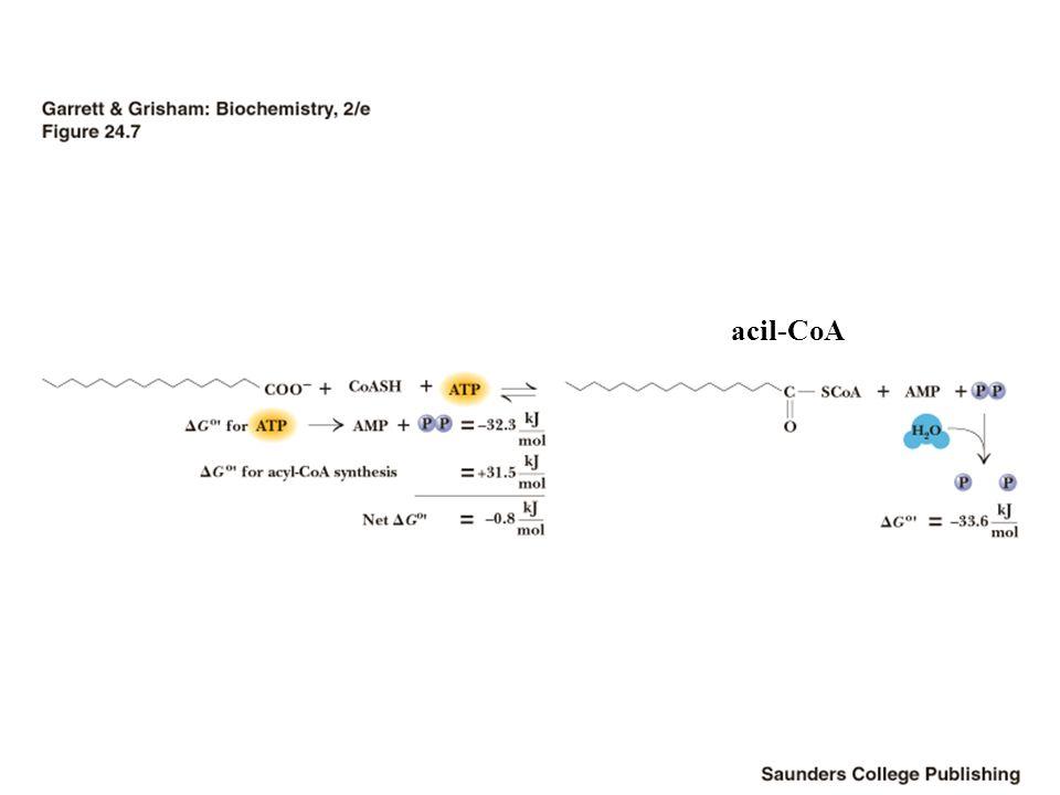acil-CoA