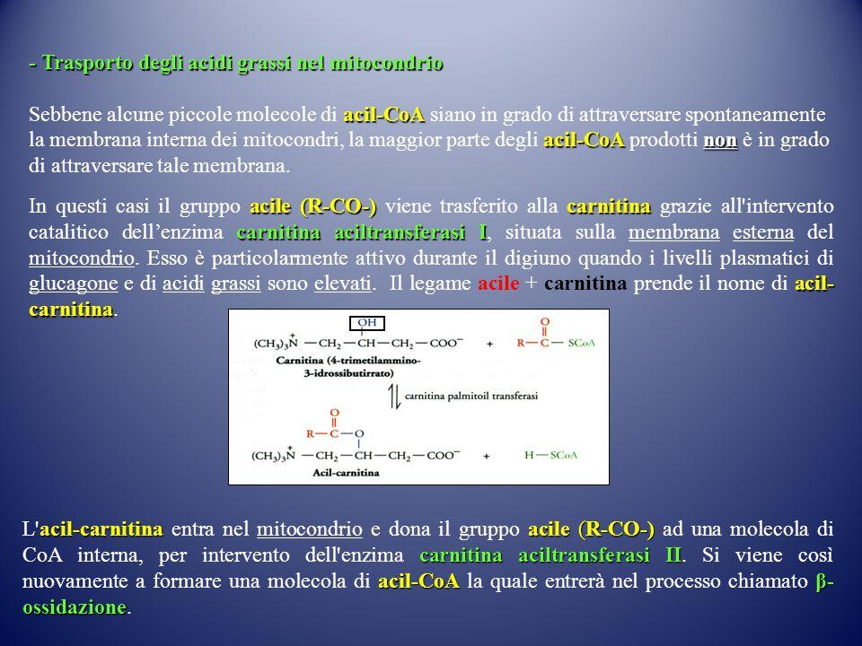 - Trasporto degli acidi grassi nel mitocondrio