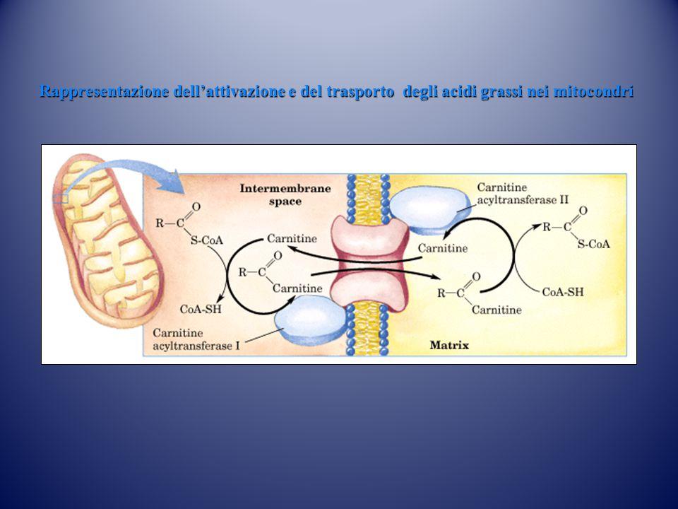 Rappresentazione dell'attivazione e del trasporto degli acidi grassi nei mitocondri