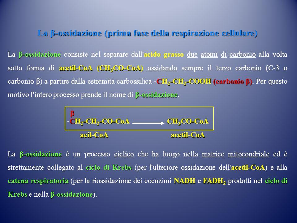 La β-ossidazione (prima fase della respirazione cellulare)