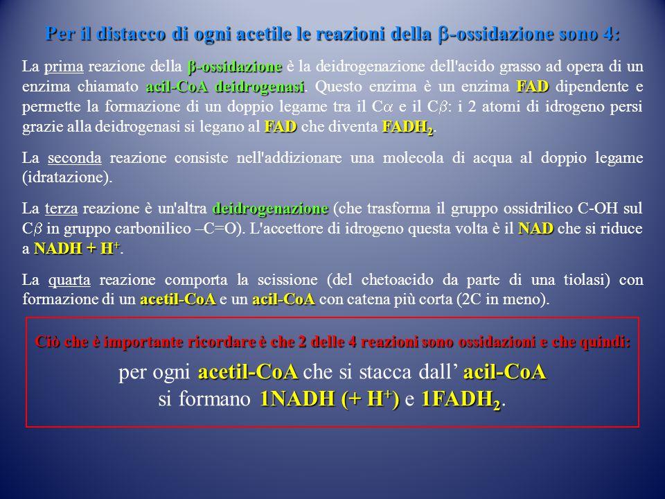 per ogni acetil-CoA che si stacca dall' acil-CoA