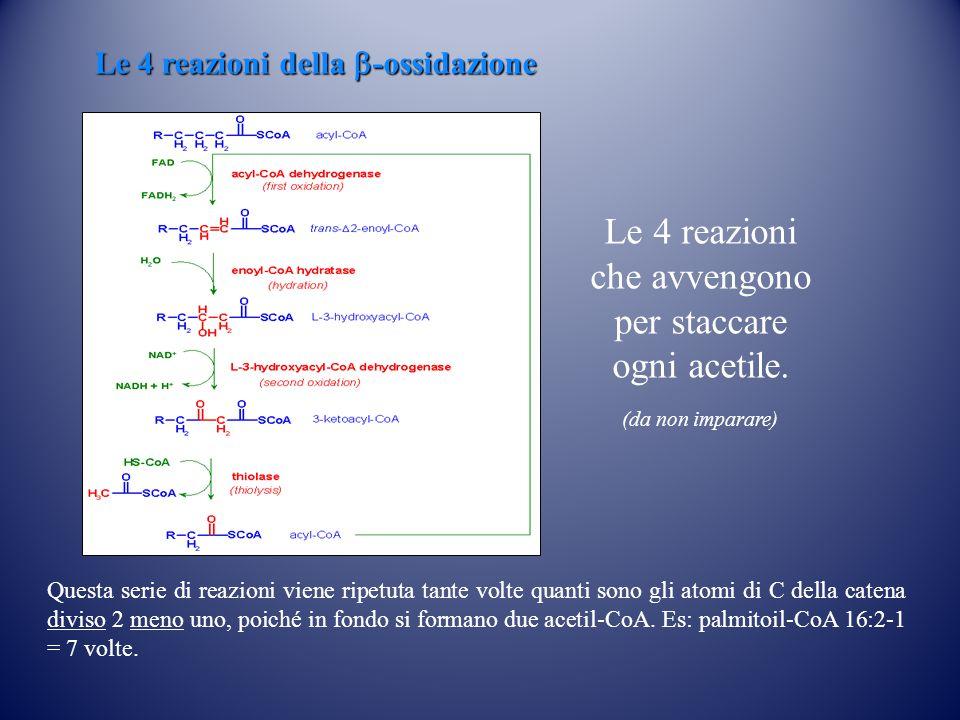 Le 4 reazioni della b-ossidazione