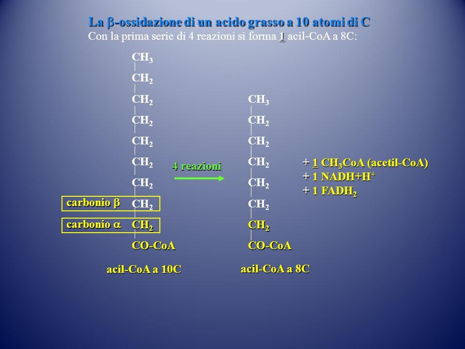 La b-ossidazione di un acido grasso a 10 atomi di C
