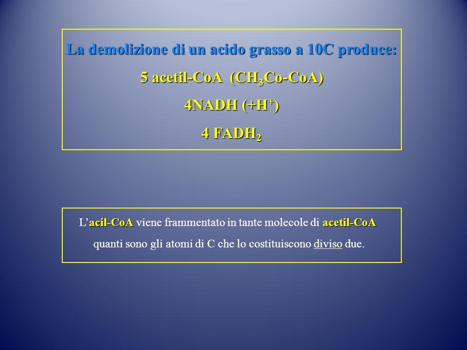 La demolizione di un acido grasso a 10C produce: