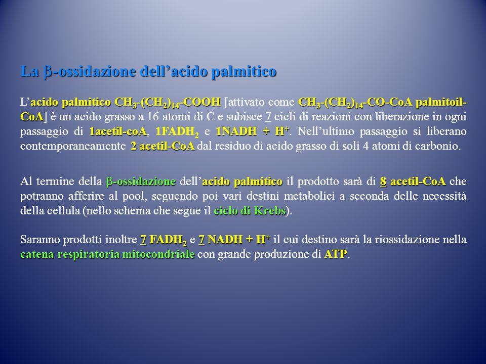 La b-ossidazione dell'acido palmitico