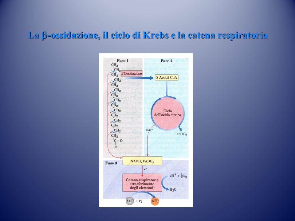 La b-ossidazione, il ciclo di Krebs e la catena respiratoria