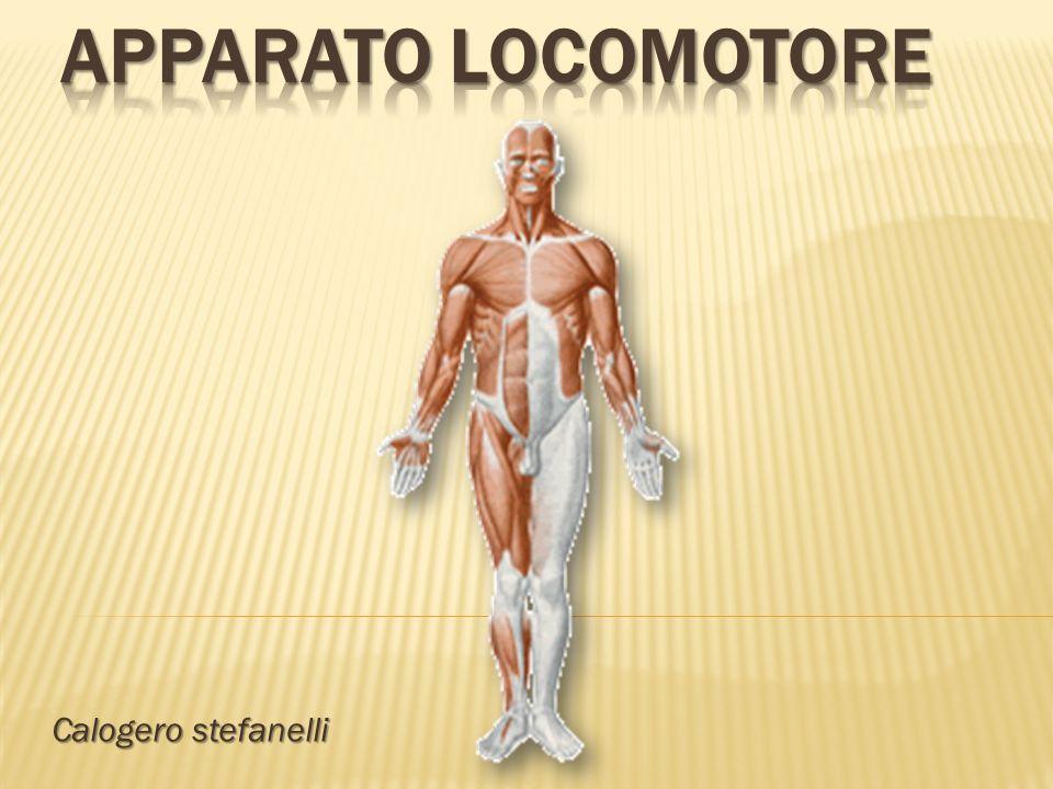 Apparato locomotore Calogero stefanelli