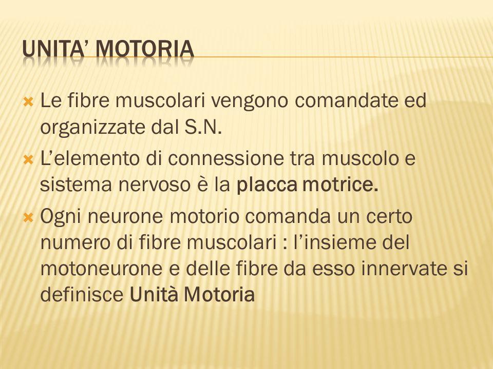 UNITA' MOTORIA Le fibre muscolari vengono comandate ed organizzate dal S.N.