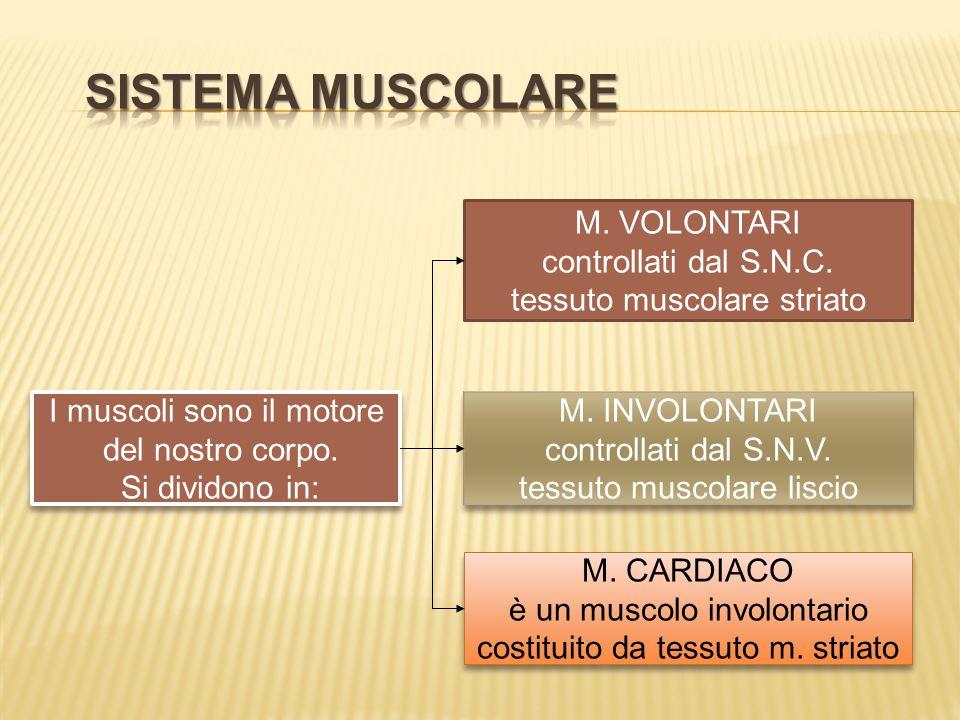 SISTEMA MUSCOLARE M. VOLONTARI controllati dal S.N.C.