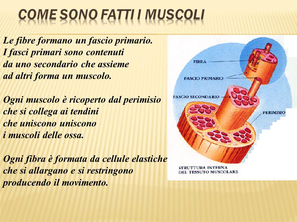 Come sono fatti i muscoli