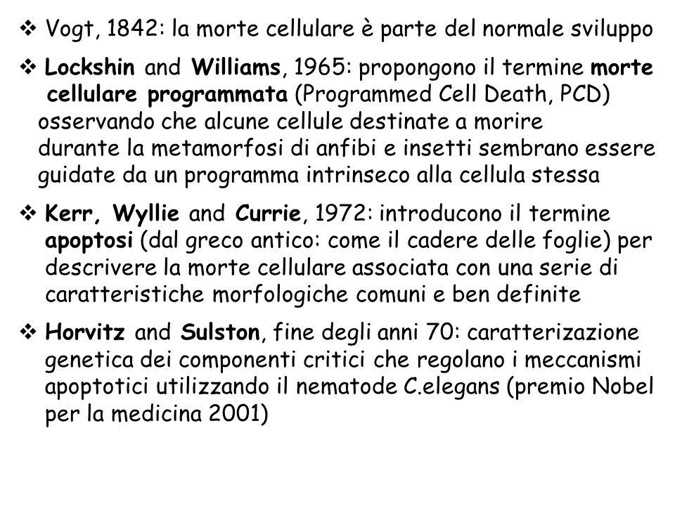 Vogt, 1842: la morte cellulare è parte del normale sviluppo