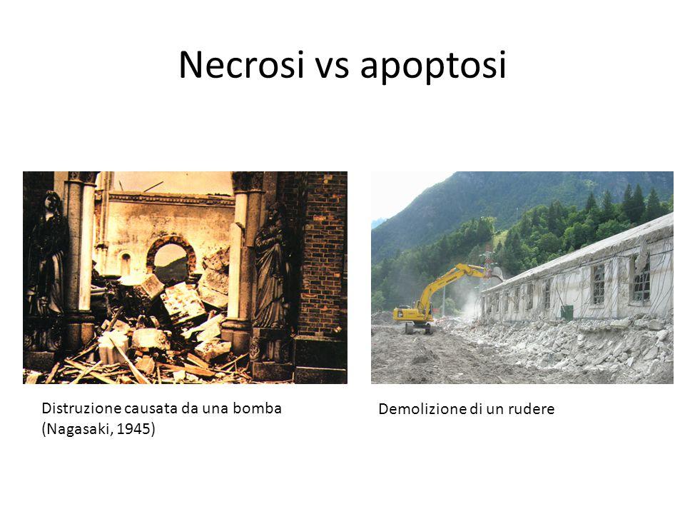 Necrosi vs apoptosi Distruzione causata da una bomba
