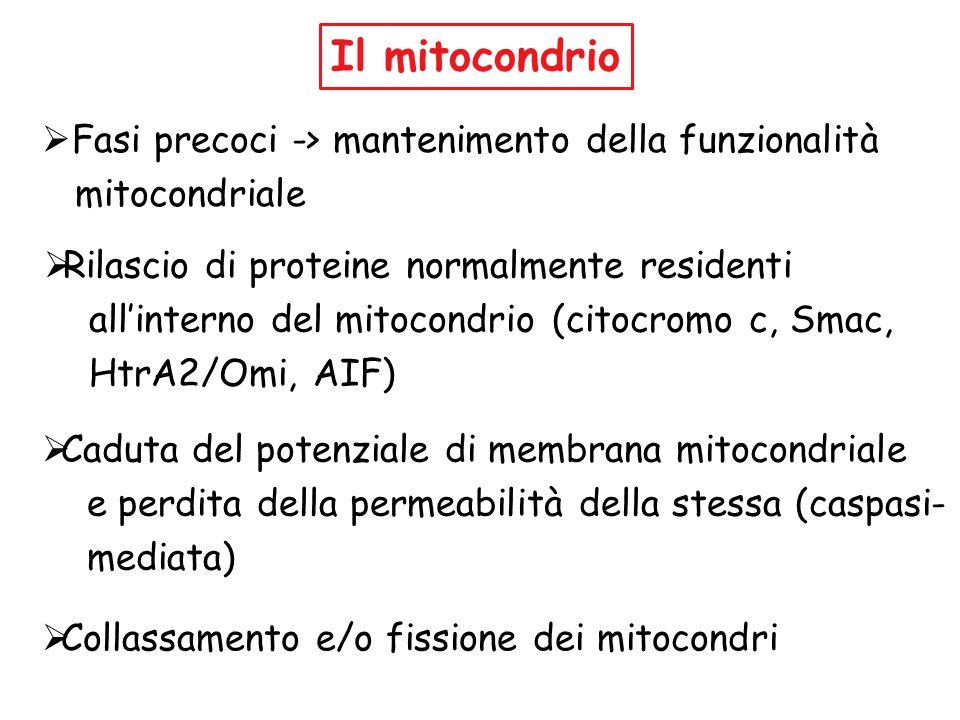 Il mitocondrio Fasi precoci -> mantenimento della funzionalità