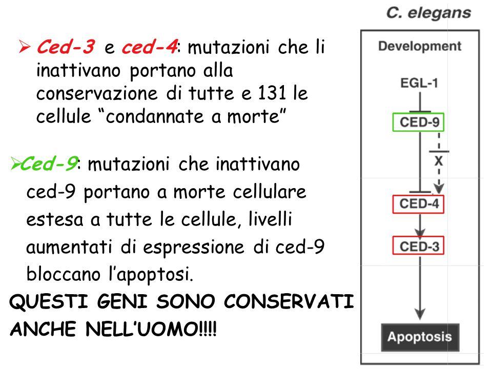 Ced-3 e ced-4: mutazioni che li inattivano portano alla conservazione di tutte e 131 le cellule condannate a morte