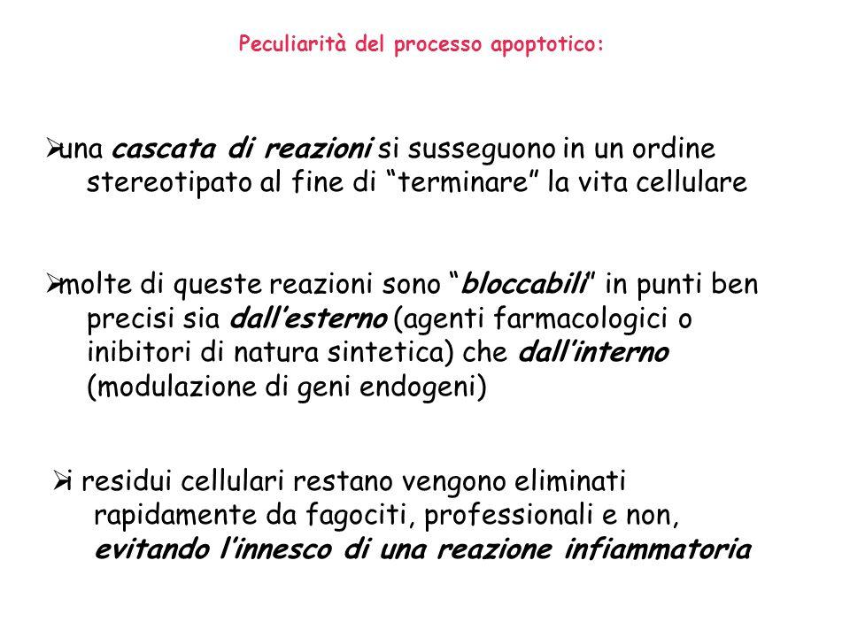 Peculiarità del processo apoptotico: