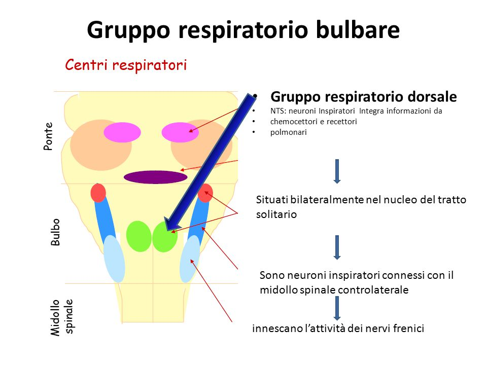 Gruppo respiratorio bulbare