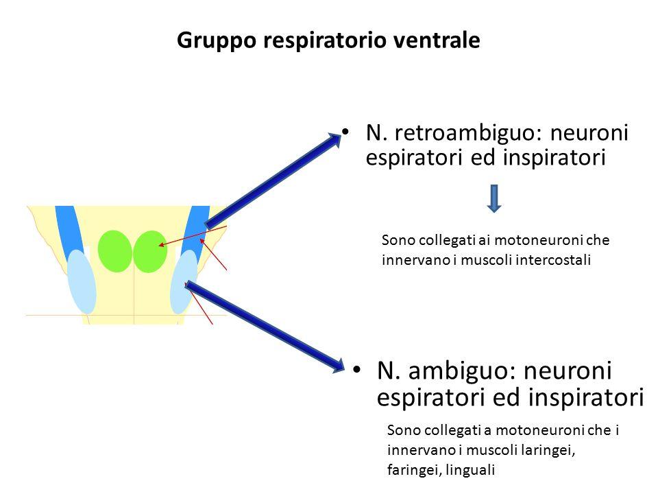 Gruppo respiratorio ventrale