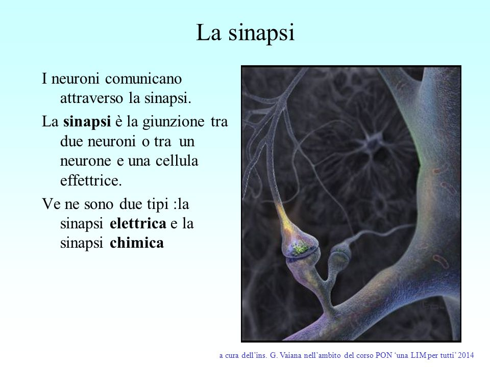 La sinapsi I neuroni comunicano attraverso la sinapsi.