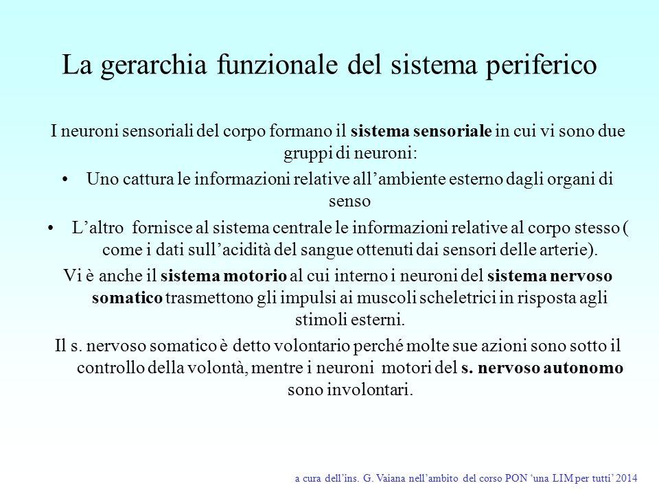 La gerarchia funzionale del sistema periferico