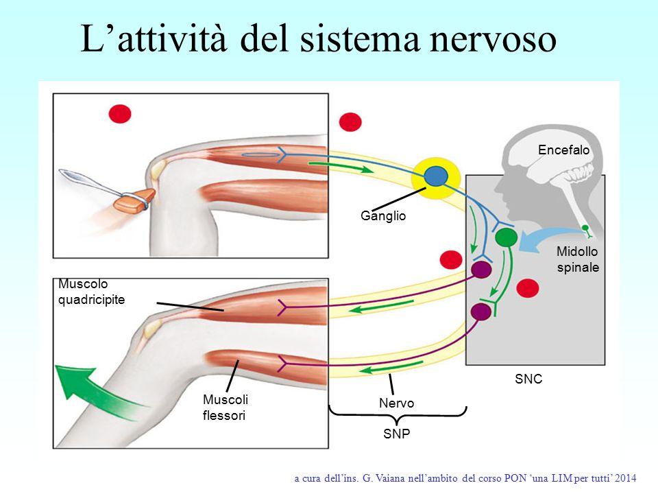 L'attività del sistema nervoso
