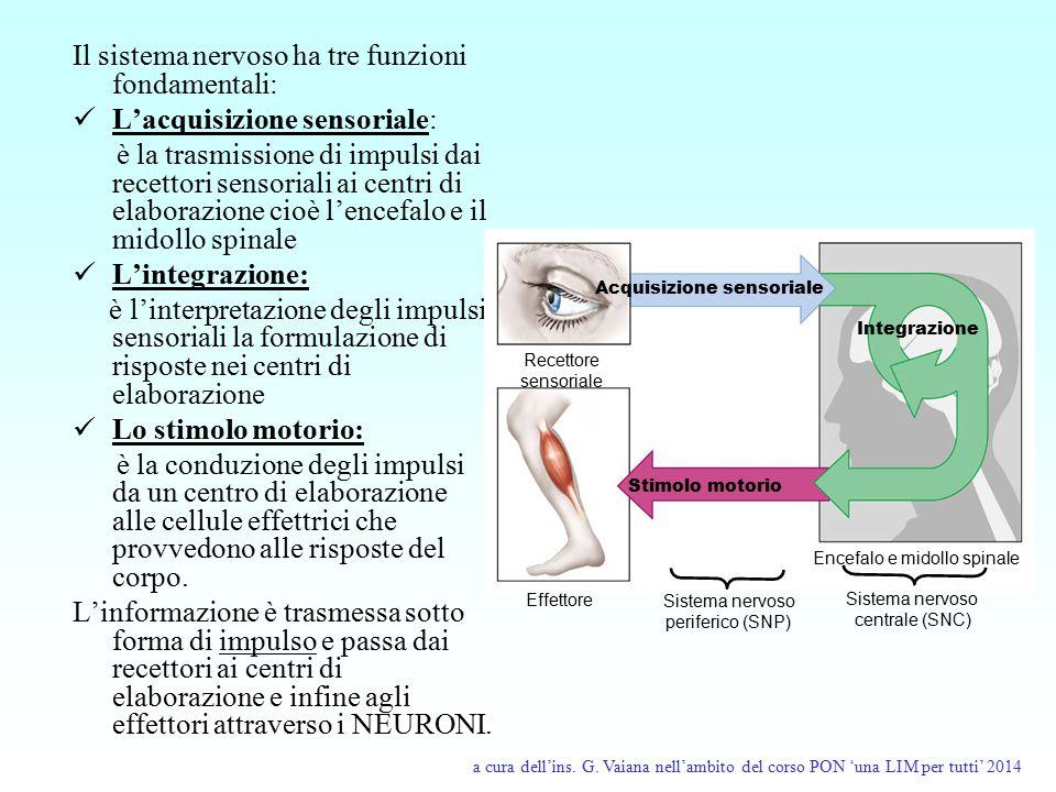 Encefalo e midollo spinale