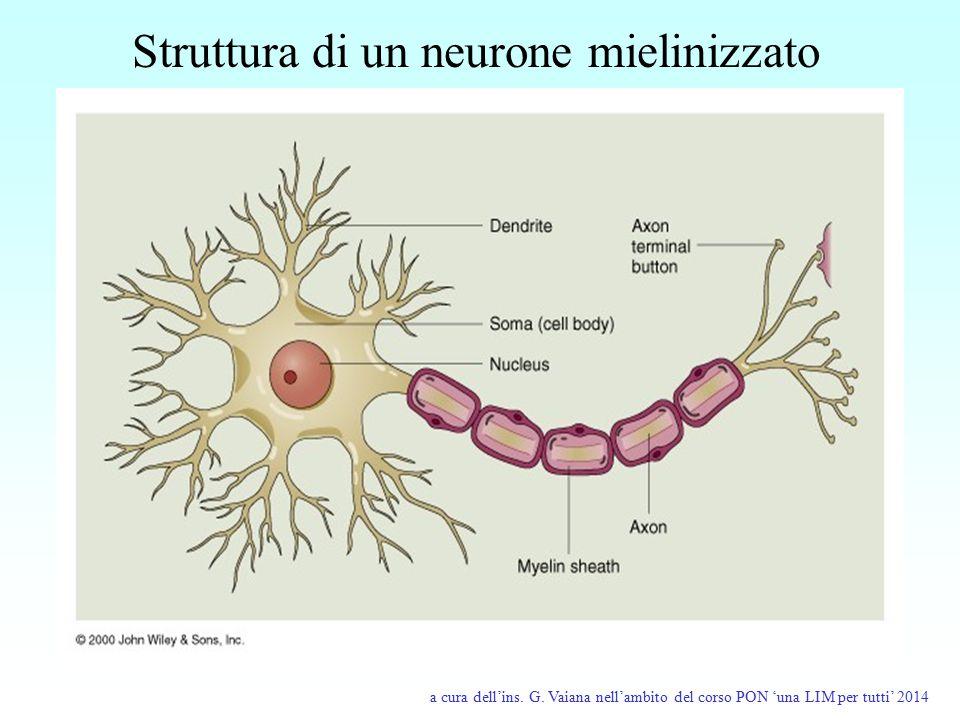 Struttura di un neurone mielinizzato