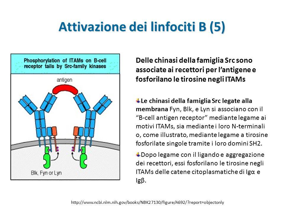 Attivazione dei linfociti B (5)