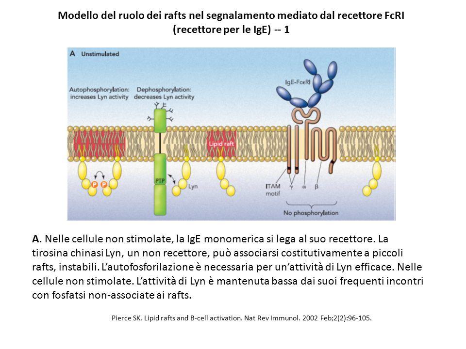 Modello del ruolo dei rafts nel segnalamento mediato dal recettore FcRI (recettore per le IgE) -- 1