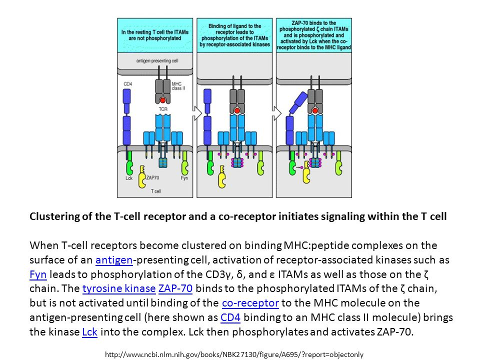 Clustering of the T-cell receptor and a co-receptor initiates signaling within the T cell