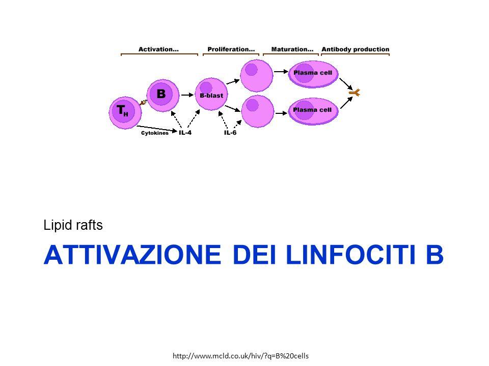 Attivazione dei linfociti b