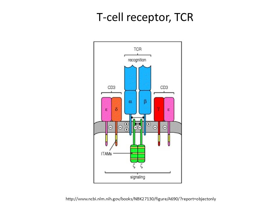 T-cell receptor, TCR http://www.ncbi.nlm.nih.gov/books/NBK27130/figure/A690/ report=objectonly