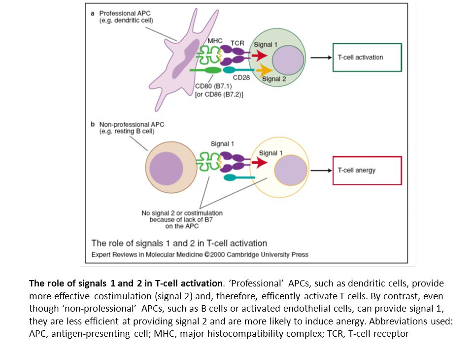 The role of signals 1 and 2 in T-cell activation