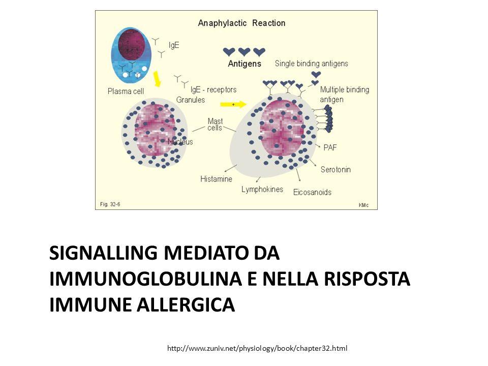 Signalling mediato da immunoglobulina E nella risposta immune allergica
