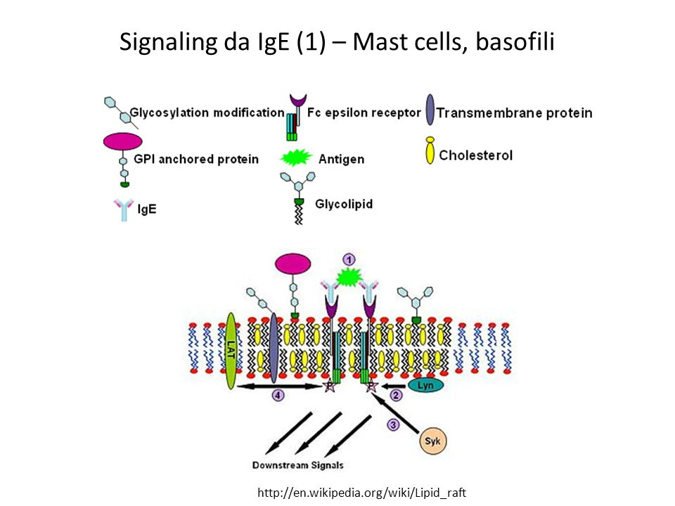 Signaling da IgE (1) – Mast cells, basofili