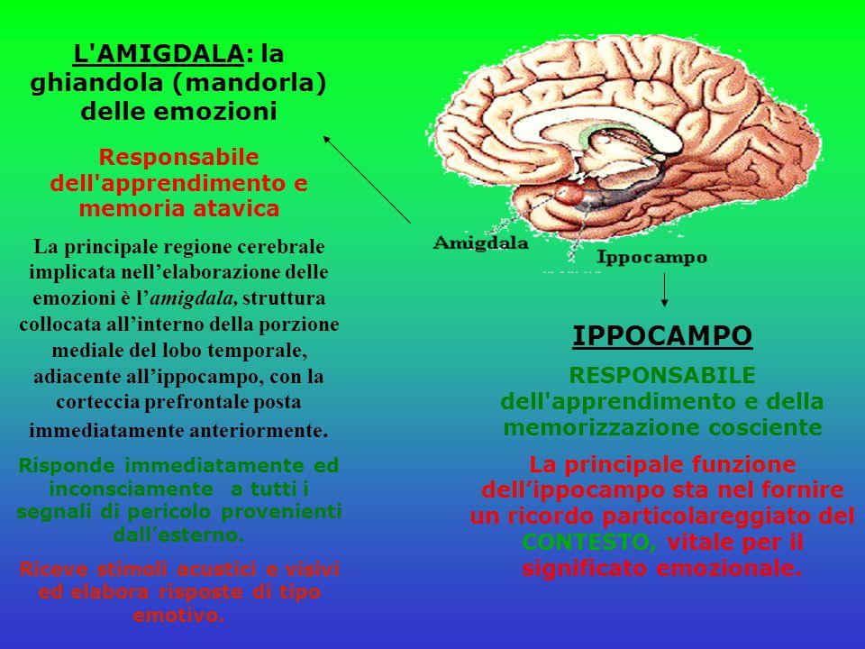 IPPOCAMPO L AMIGDALA: la ghiandola (mandorla) delle emozioni