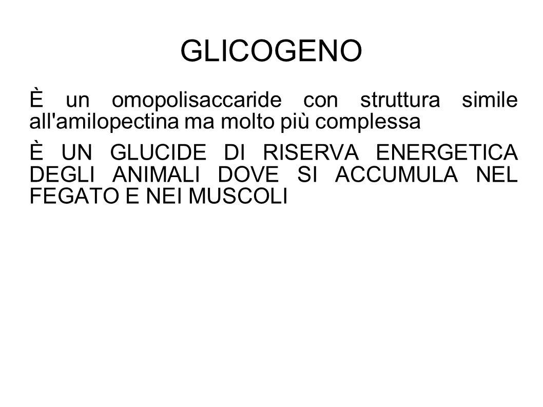 GLICOGENO È un omopolisaccaride con struttura simile all amilopectina ma molto più complessa.