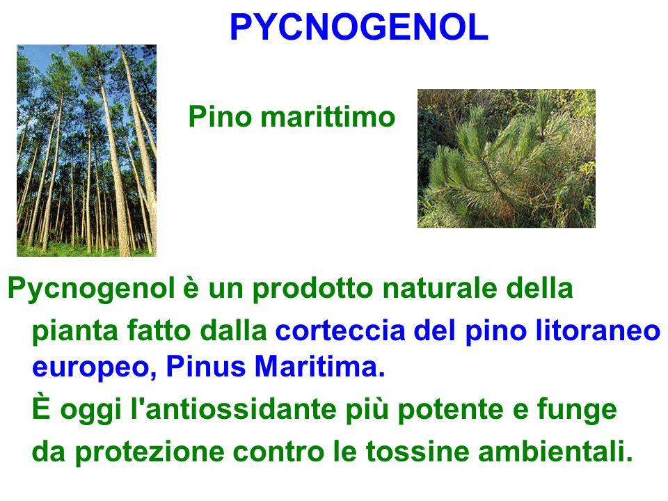 PYCNOGENOL Pino marittimo. Pycnogenol è un prodotto naturale della. pianta fatto dalla corteccia del pino litoraneo europeo, Pinus Maritima.