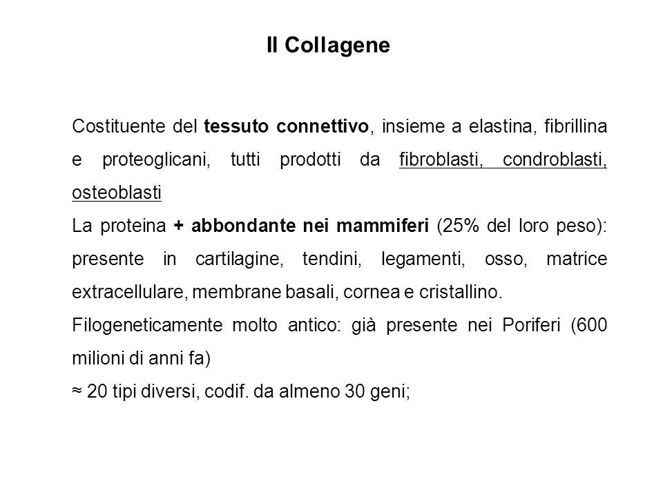 Il Collagene